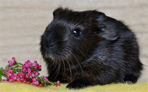 Cmon Ladiesbe Pigs by Guinea Pig Names 200 Great Names For Guinea