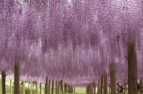 wisteria flower tunnel in japan wisteria flower tunnel kawachi fuji garden japan 7 hot penguin