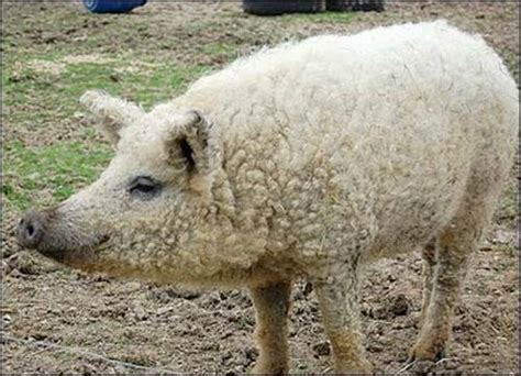the sheep pig sheep pig pulling the wool over likepage
