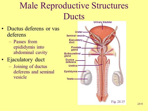 which body section contains the reproductive structures on a beetle pictures male vas deferens anatomy diagram charts