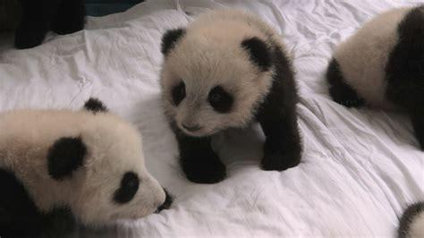 Baby Panda One baby pandas in the www pixshark images