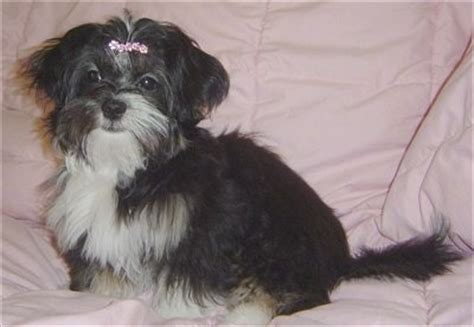 shih tzu lhasa apso mix information shih apso breed information and pictures