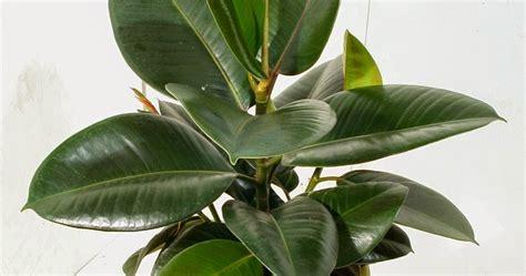 jual tanaman hias jual pohon karet jepang ficus elastica