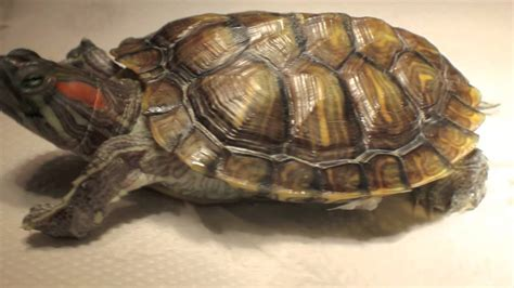 petsmart turtles