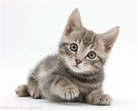 kitten background cat white background wallpapersafari