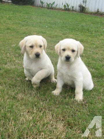 white lab puppies for sale in florida akc white white gold labrador retriever puppies new pictures for sale in polk city