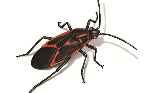 boxelder bug basic facts    rid   pest wiki