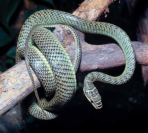 serpente volante serpentes monaco nature encyclopedia