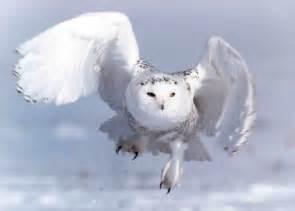wallpaper admin white owl wallpapers