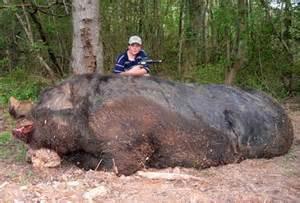 Are asking deer hunters to shoot wild boar this deer season wild pigs