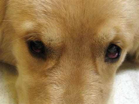 allergies in golden retrievers golden retriever eye disease what breed is right for me quiz home