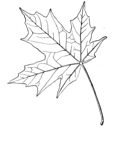 sugar maple leaf coloring page supercoloring com