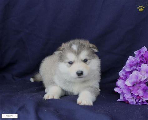alaskan malamute puppies for sale in pa alaskan malamute puppy for sale in pennsylvania alaskan malamutes