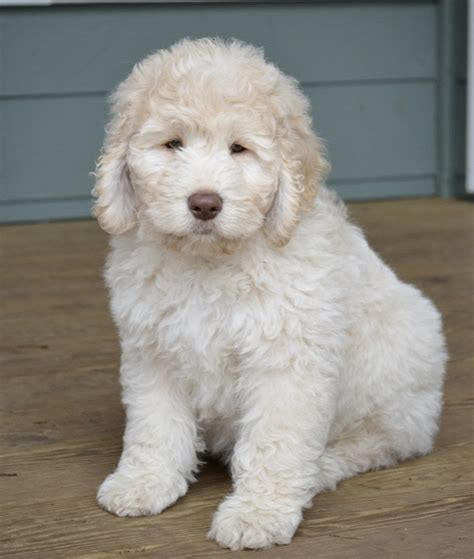 mini goldendoodles mini goldendoodle precious baby