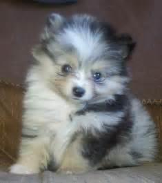 Pomchi dog breed 187 pomeranian chihuahua mix