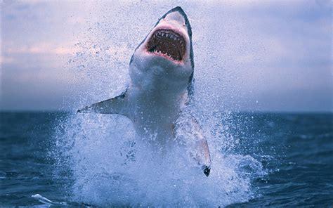 great white shark animal wallpaper  dekstop