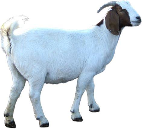 Bibit Kambing Kurban himpunan peternak kambing boer indonesia cabang jawa timur