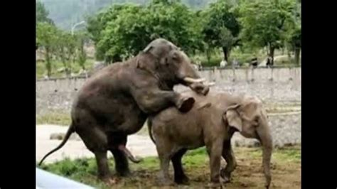 african mating ritualsvideos elephants mating rare images youtube