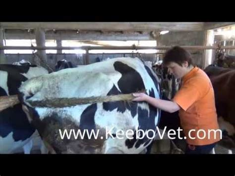 cow ultrasound machine pre ovulation follicles and ovary in dairy cow diagnosed