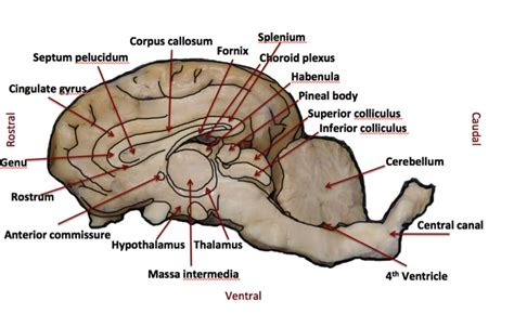 sheep brain diagram sheep brain anatomy