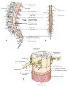 meninges and cerebrospinal fluid gross anatomy of the