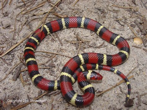 snake pattern red black yellow come on a safari with me