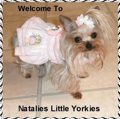 parti yorkie grown grown parti yorkie pictures to pin on pinsdaddy