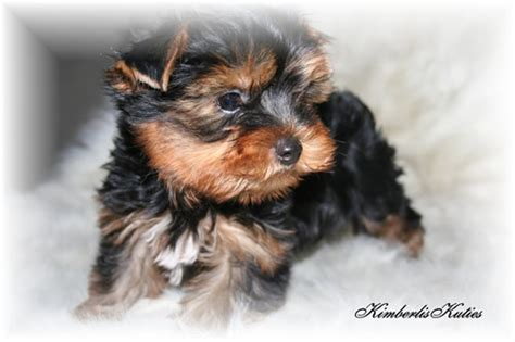 imperial yorkies yorkie biewer imperial shih tzu scottish terrier country of breeds picture