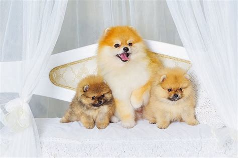 pomeranian puppies names pomeranian names www pixshark images galleries with a bite