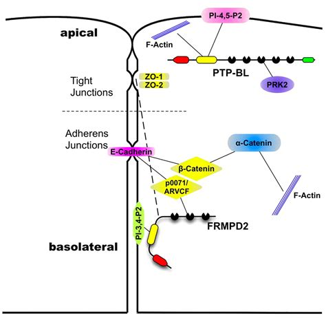 pdz domain directed basolateral targeting