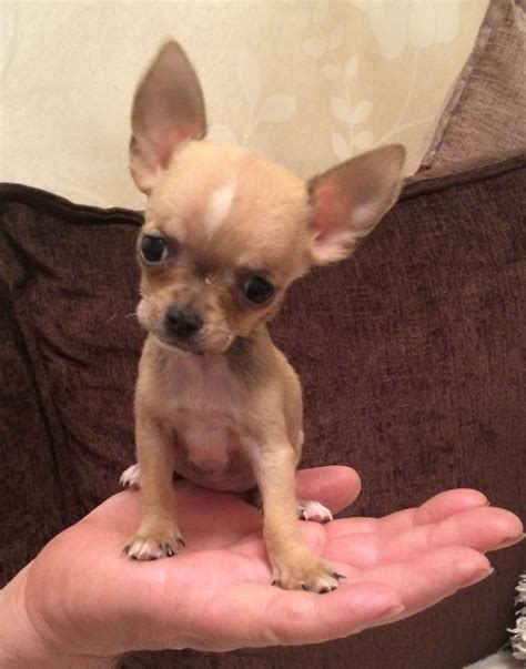 free teacup chihuahua puppies in nc teacup chihuahua puppies free adoption