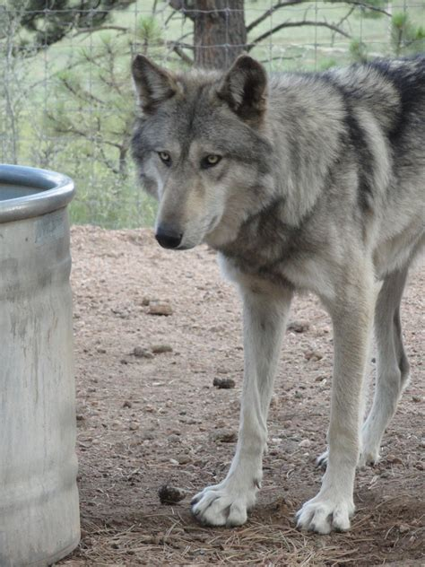 wolf breed dogs images wolfdog wolf hybrid puppies for sale from breeders breeds picture