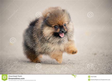 pomeranian walking pomeranian spitz puppy walking stock photo image 49270338