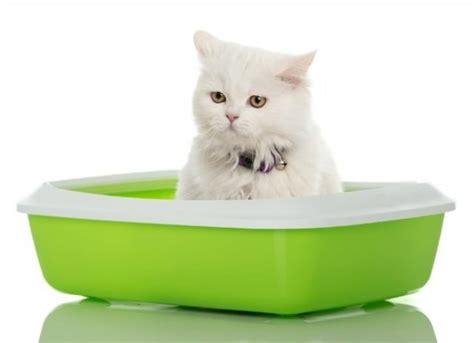 Kitten Bloody Stool Diarrhea by Sangue Nelle Feci Gatto Cosa Fare Mondopets It