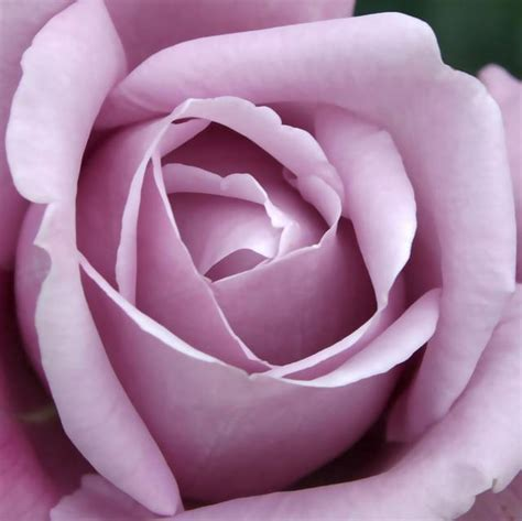 imagenes de rosas violetas foto rosa violeta fotos rosas