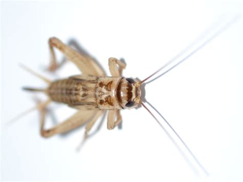 house cricket occasional pests how to get rid of occasional invaders