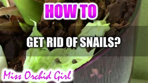how to get a s nail to stop bleeding how to get rid of snails in orchid pots