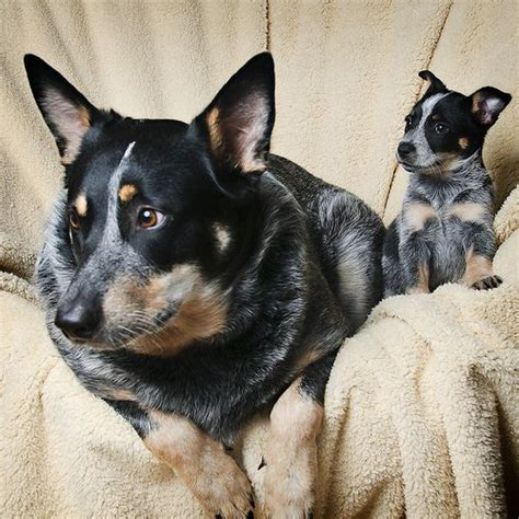 blue heelers s01e01 a womans place 1226 best images about australian cattle blue or
