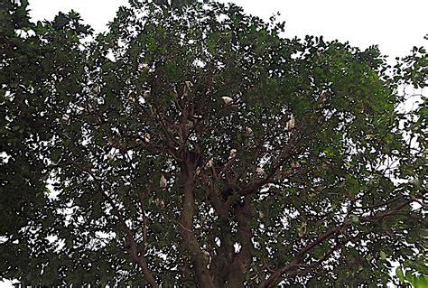 Tempat Makan Burung Koloni mengintip indahnya kokokan di petulu bali matakota news