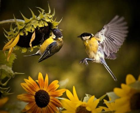 birds and sunflowers pixdaus