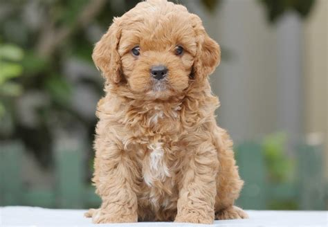 when to a puppy cavoodle puppies for sale chevromist kennels