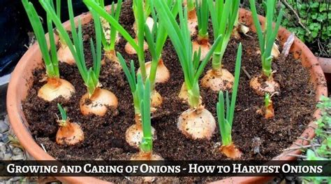 growing  caring  onions   harvest onions