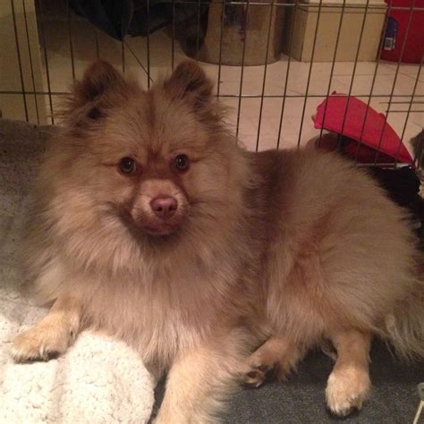 german spitz puppies for sale 7 month german spitz puppy for sale wembley middlesex pets4homes