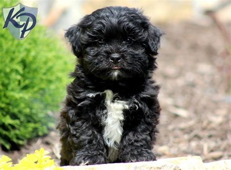 shihpoo puppies for sale haircuts for shih tzu poo hairstylegalleries