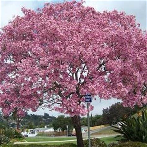 Bibit Bunga Tabebuia jual pohon tabebuya pink dari bibit terbaik jual bibit