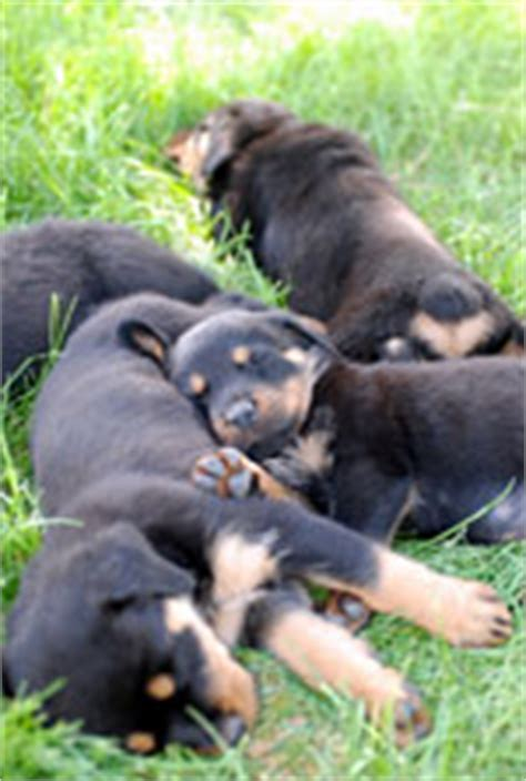 parvo in rottweilers parvo in puppies protect your precious pup
