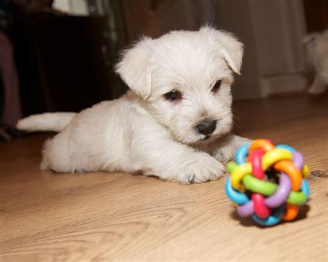 west highland terrier puppies west highland terrier puppies derby derbyshire pets4homes