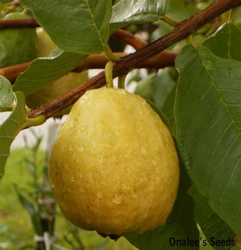 florida fruit trees florida tropical white pear guava fruit tree seeds