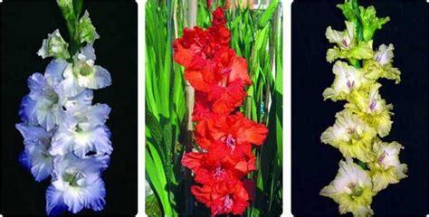 menanam bunga gladiol cepat berbunga