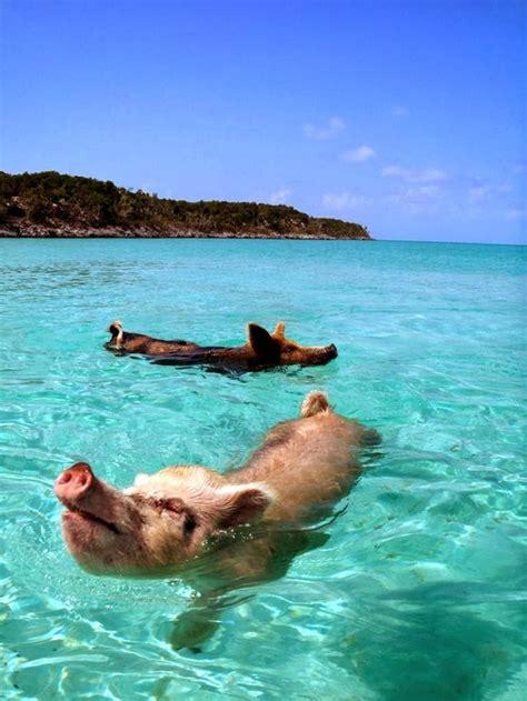 jp bahamas マリンブルーの海を楽しそうに泳ぐ野ブタさん バハマ bahamas のエグズーマ島 exuma のピッグ ビーチ